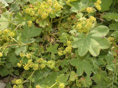 alchemilla-vulgaris