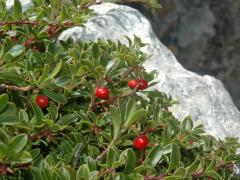 arctostaphylos-uva-ursi
