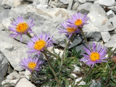 aster-alpinum